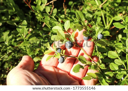 Blueberry berry in the summer forest on the palm of a person, close-up, top view-the concept of using a delicious and healing berry