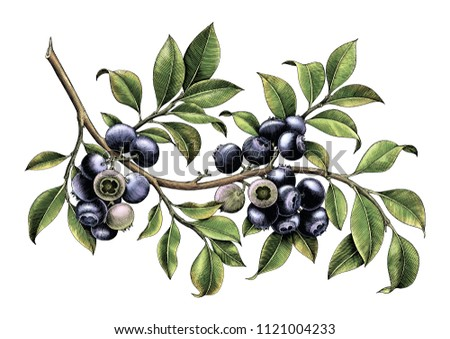 Blueberry branch hand drawing vintage clip art isolate on white background