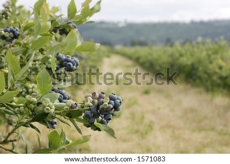 Blueberry cluster on bush