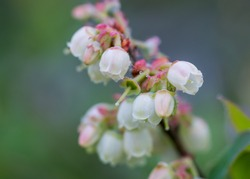 Blueberry Flowers and Dewy Spider Web in early summer