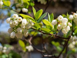 Blueberry flowers are blooming in Fukuoka city, JAPAN.