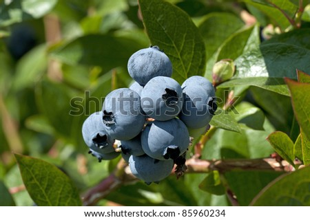 Blueberry fruit - Canadian blueberries in the orchard