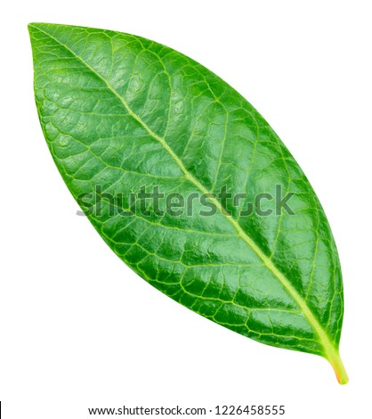 Blueberry leaves. Leaves isolated on white background Clipping Path