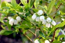 Blueberry shrub in flower.