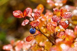 Blueberry (Vaccinium uliginosum) berry and leaves. Dew on the colorful autumn foliage of bog blueberries. Tundra plants. Wild northern berries in the Arctic. Shallow depth of field. Blurred background