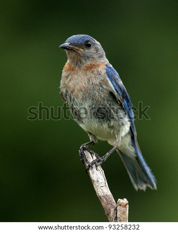 Bluebird beauty