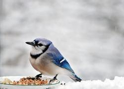 Bluebird eating birdseed in the snow