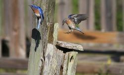 Bluebird flying around the nest
