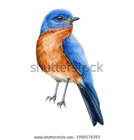 Bluebird watercolor illustration. Tiny bird wih blue feathers. Hand drawn realistic north america avian. Beautiful songbird element. Eastern bluebird single close up image on white background. Stock photo ©