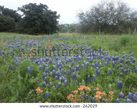 bluebonnet clip art. stock photo : Bluebonnet field