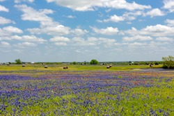 Bluebonnet field in spring on a beautiful sunny day