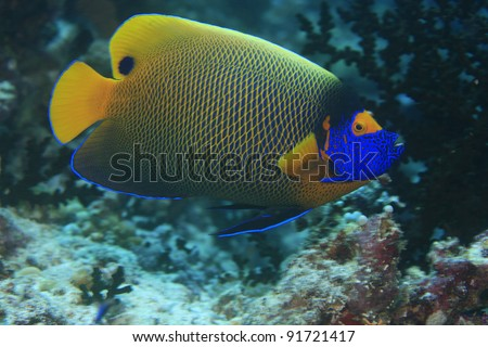 Blueface angelfish in the coral reef