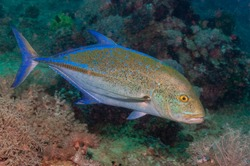 bluefin trevally, Bluefin jack, bluefin kingfish, bluefinned crevalle, blue ulua, omilu or spotted trevally (Caranx melampygus) Mindoro, Philippines