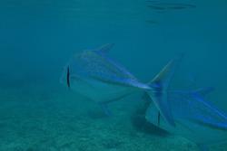 Bluefin trevally, Caranx melampygus, swiming in the near shore waters of Kunfunadhoo Island, Baa Atoll, Maldives