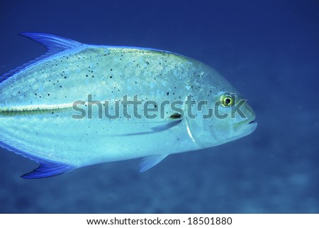 Bluefin Trevally in the Indian Ocean - stock photo