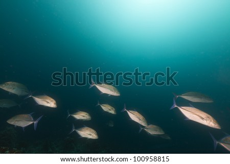 Bluefin trevally in the Red Sea