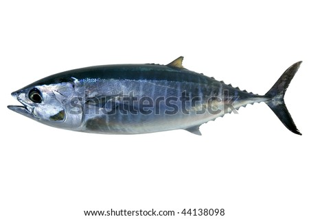 Bluefin tuna isolated on white Thunnus thynnus saltwater fish