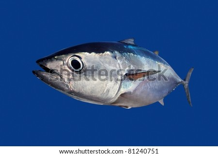 Bluefin tuna Thunnus thynnus fish isolated on blue background