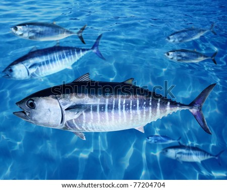 Bluefin tuna Thunnus thynnus fish school underwater swimming blue ocean [Photo Illustration]