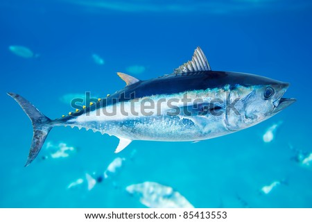 Bluefin tuna Thunnus thynnus saltwater fish in mediterranean [Photo Illustration]