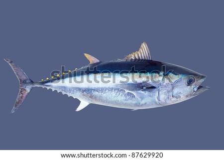 Bluefin tuna Thunnus thynnus saltwater fish isolated on gray - stock photo