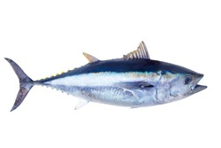 Bluefin tuna Thunnus thynnus saltwater fish isolated on white