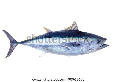 Bluefin tuna Thunnus thynnus saltwater fish isolated on white