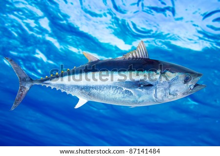 Bluefin tuna Thunnus thynnus saltwater fish underwater blue sea [Photo Illustration]