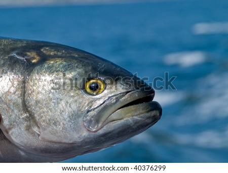 Bluefish Fish Head