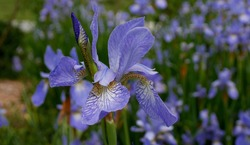 Blueflag Iris (Iris versicolor L.), purple blue flowers