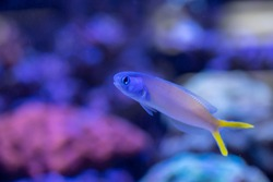Bluehead tilefish (Hoplolatilus starcki) swimming in Reef Tank