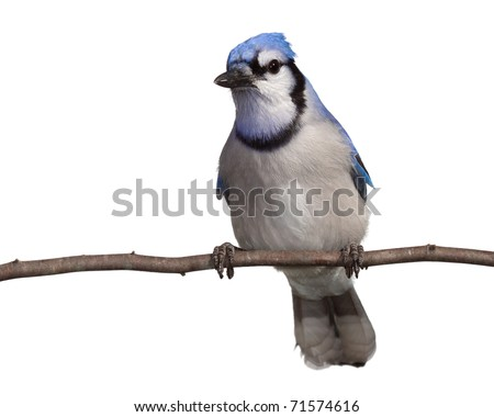 bluejay gazes into the distance as it relaxes on a branch. straight on view, head tilted to side breast and underside of tail in full view. bluejay perched on a branch with a white background