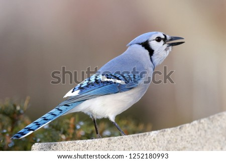 Bluejay looking for seed.