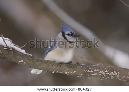 bluejay sitting on a branch