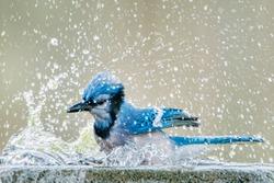 Bluejay Splashing up a Storm in Bird Bath in South Central Louisiana