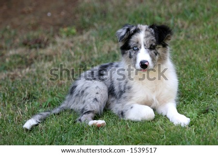 Collie Puppies on Collie Border Collie Border Collie Border Collie Find Similar Images