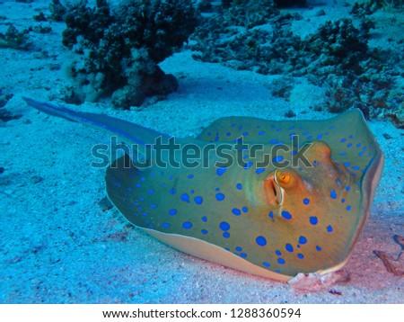 Bluespotted ribbontail ray, Marsa Mubarak, Marsa Alam area, Egypt