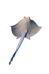 Bluespotted Ribbontail Ray (Taeniura lymma) Isolated On A White Background. Close Up Of Dangerous Underwater Spotted Stingray Soaring In Red Sea, Egypt. Beautiful Indo-Pacific Ocean Fish, Cut Out.