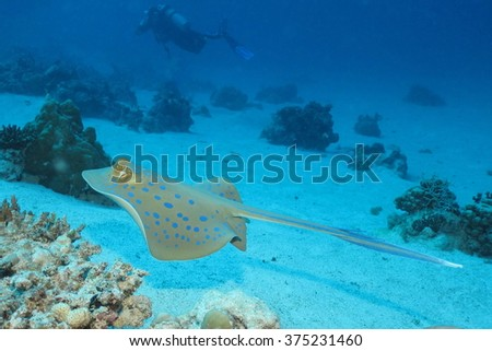 Bluespotted ribbontail stingray gliding above sandy bottom among coral patches. #375231460