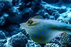 Bluespotted stingray floatin underwater over corals. Red sea fish. Closeup portrait.