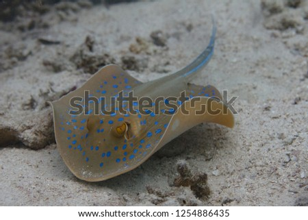Bluespotted Stingray on Coral Reef in Red Sea off Dahab, Egypt