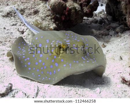 Bluespotted stingray (Taeniura lymma)