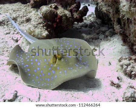 Bluespotted stingray (Taeniura lymma) - stock photo