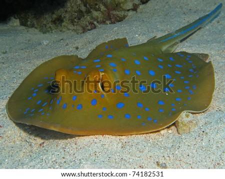 Bluespotted Stingray - Taeniura lymma