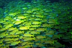 Bluestripe snapper in Arabian sea, Baa Atoll, Maldives, underwater photograph