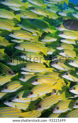 Bluestripe snappers in the tropical reef