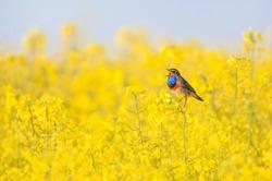 bluethroat chirping in a rape field