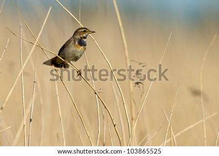 Bluethroat, luscinia Svecica standing on the reed
