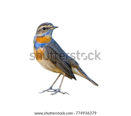 Bluethroat or Luscinia svecica, beautiful bird isolated standing in nature with white background and clipping path,Thailand.