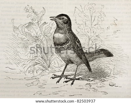 Bluethroath old illustration (Luscinia svecica cyanecula). Created by Kretschmer, published on Merveilles de la Nature, Bailliere et fils, Paris, 1878